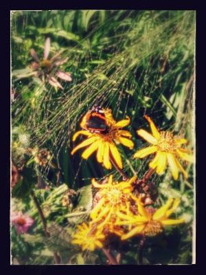 Detta är en fjäril, den misshandlar inte sin partner.